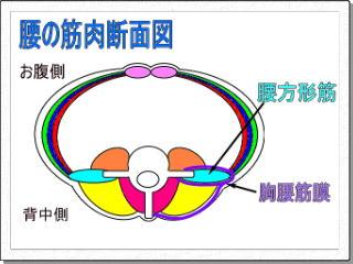 腰の筋肉断面図